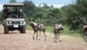 Jeepsafari mit Wildhunden