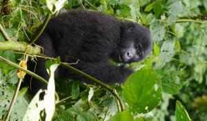 Erleben Sie ein abenteuerliches Gorilla Tracking in Ruanda