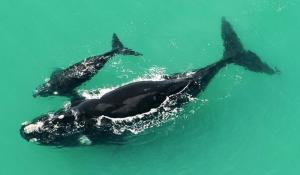 Walbeobachtung im De Hoop Nature Reserve