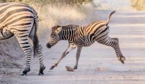Zebras im Timbavati Game Reserve