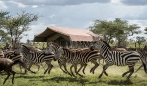 Zebras im Sametu Camp
