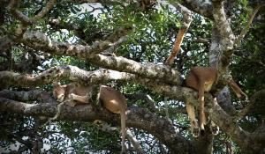 Beobachten Sie die einzigartigen Baumlöwen im Lake Manyara National Park in Tanzania