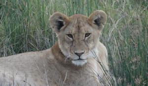 Erleben Sie authentische Safarierlebnisse im Ruaha National Park in Tanzania