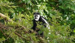 Entdecken Sie unzählige Affenarten in der Gebirgswelt der Rwenzori Mountains in Uganda