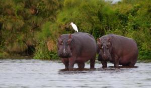 Der Lake Mburo National Park in Uganda ist für seine Artenvielfalt und seine zahlreichen Flusspferde bekannt