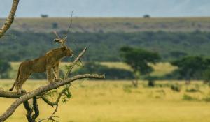 Löwe in den Wipfeln der Feigenbäume