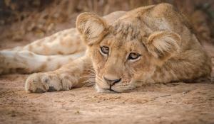 Löwen baby in Uganda