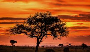 Baum im Sonnenuntergang bei den Murchison Falls in Uganda