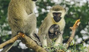 Affen in Queen Elizabeth National Park