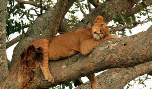 baumkletternde Löwen
