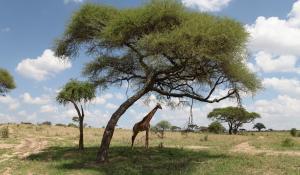 Machen Sie authentische Safarierlebnisse im Ruaha National Park in Tanzania