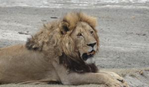 Beobachten Sie Löwen und anderes Großwild auf spannenden Safaris im Ngorongoro Krater in Tanzania