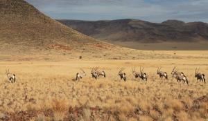 In der landschaftlich abwechslungsreichen Namib Wüste in Namibia sind zahlreiche Oryx-Antilopen beheimatet