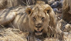 """Im Etoscha Natinal Park in Namibia können Sie mit etwas Glück die """"Big 5"""" - Leopard, Büffel, Nashorn, Elefant und Löwe - ausfindig machen"""