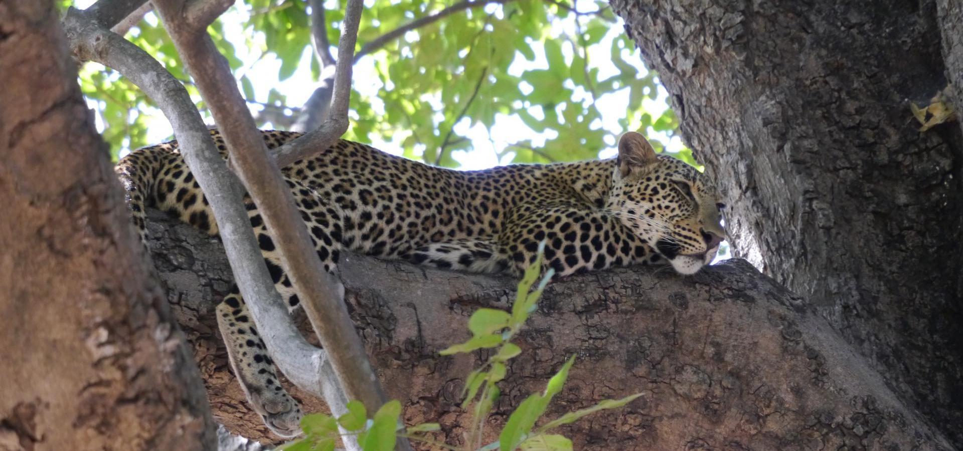 Leopard im Baum - Sambia Reisen & Urlaub