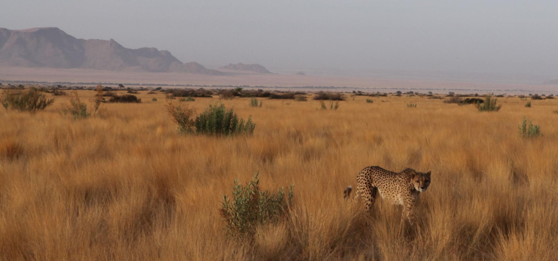 Mit etwas Glück können Sie einen der seltenen Geparden im Etoscha National Park in Namibia erspähen