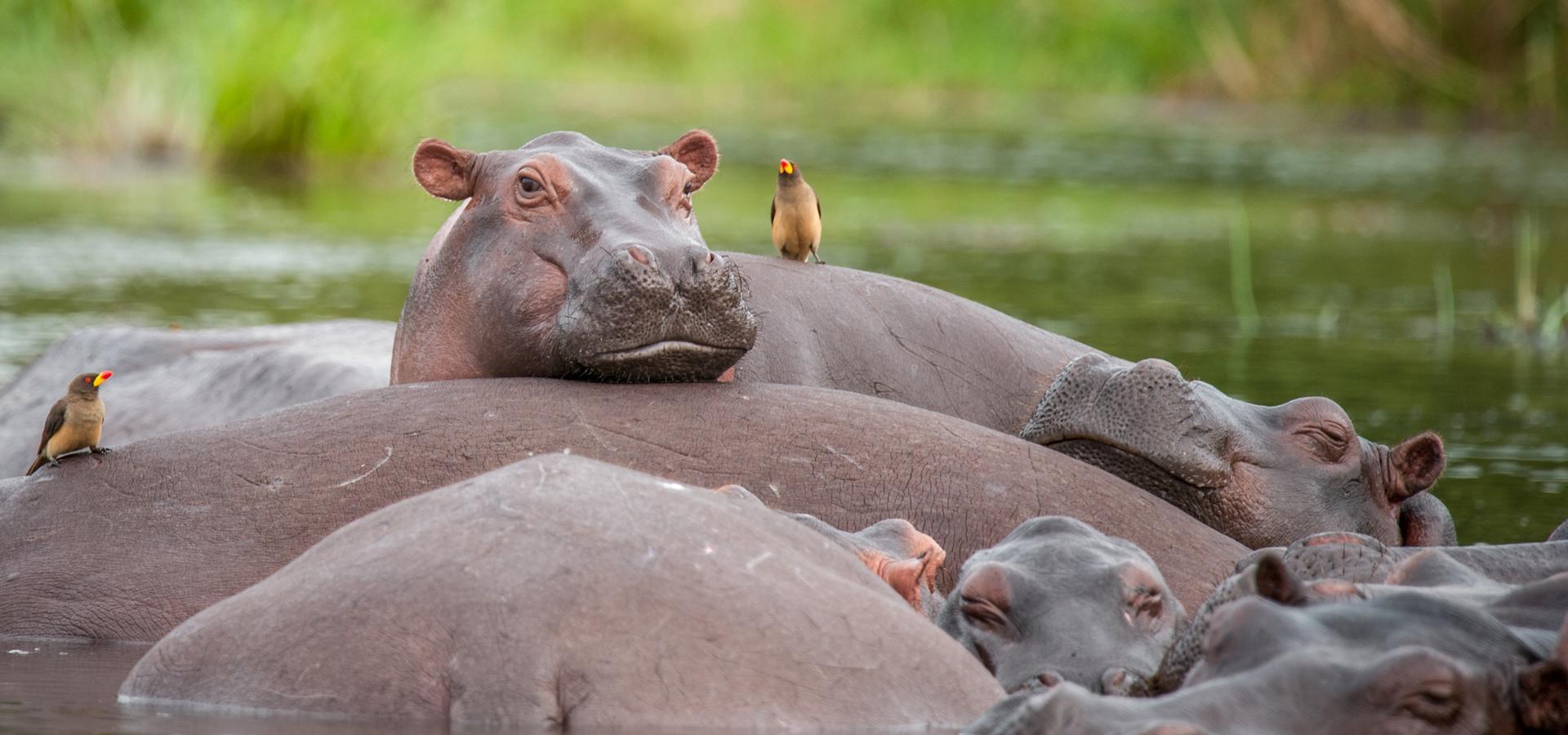 Hippos beim entspannen
