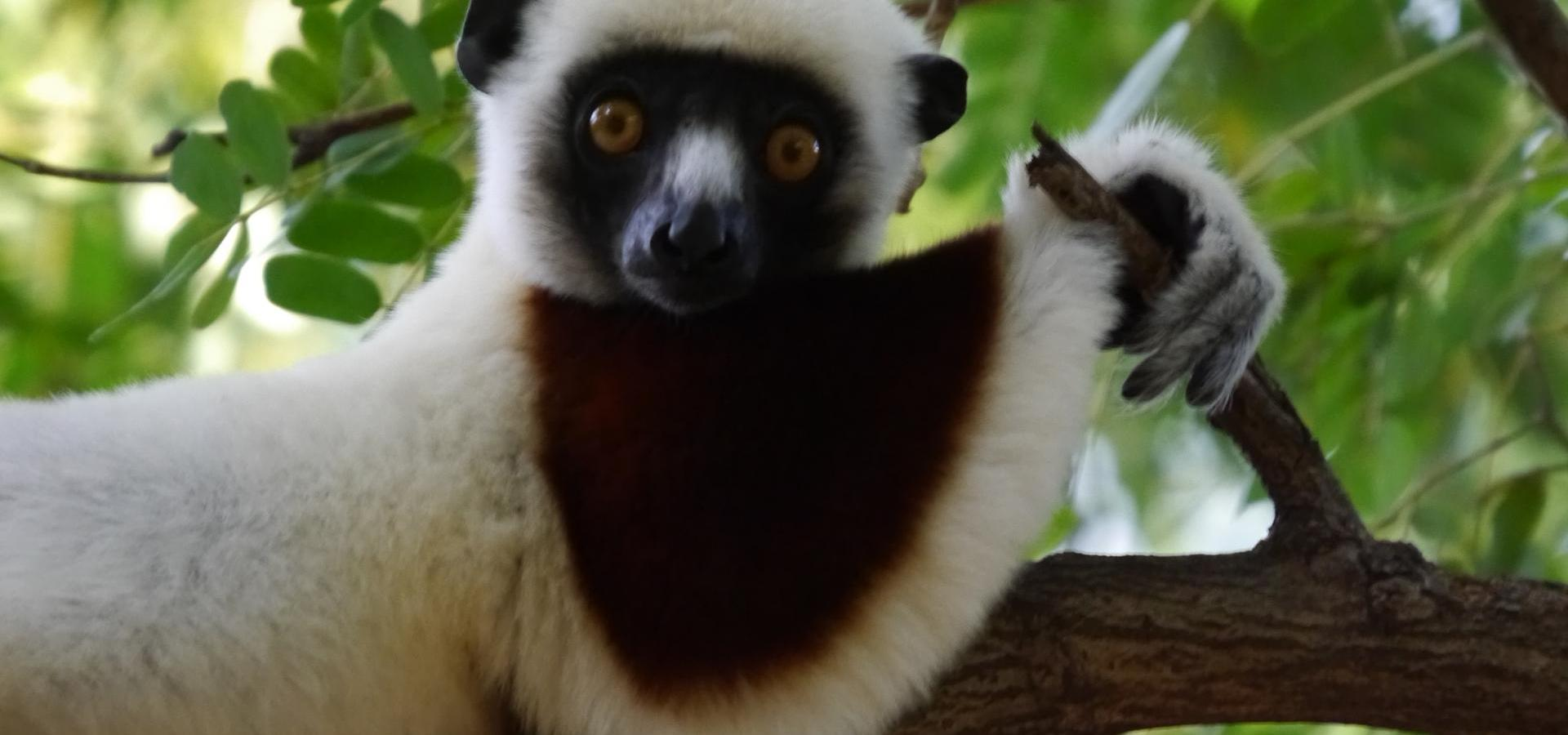 Lemur in Anjajavy