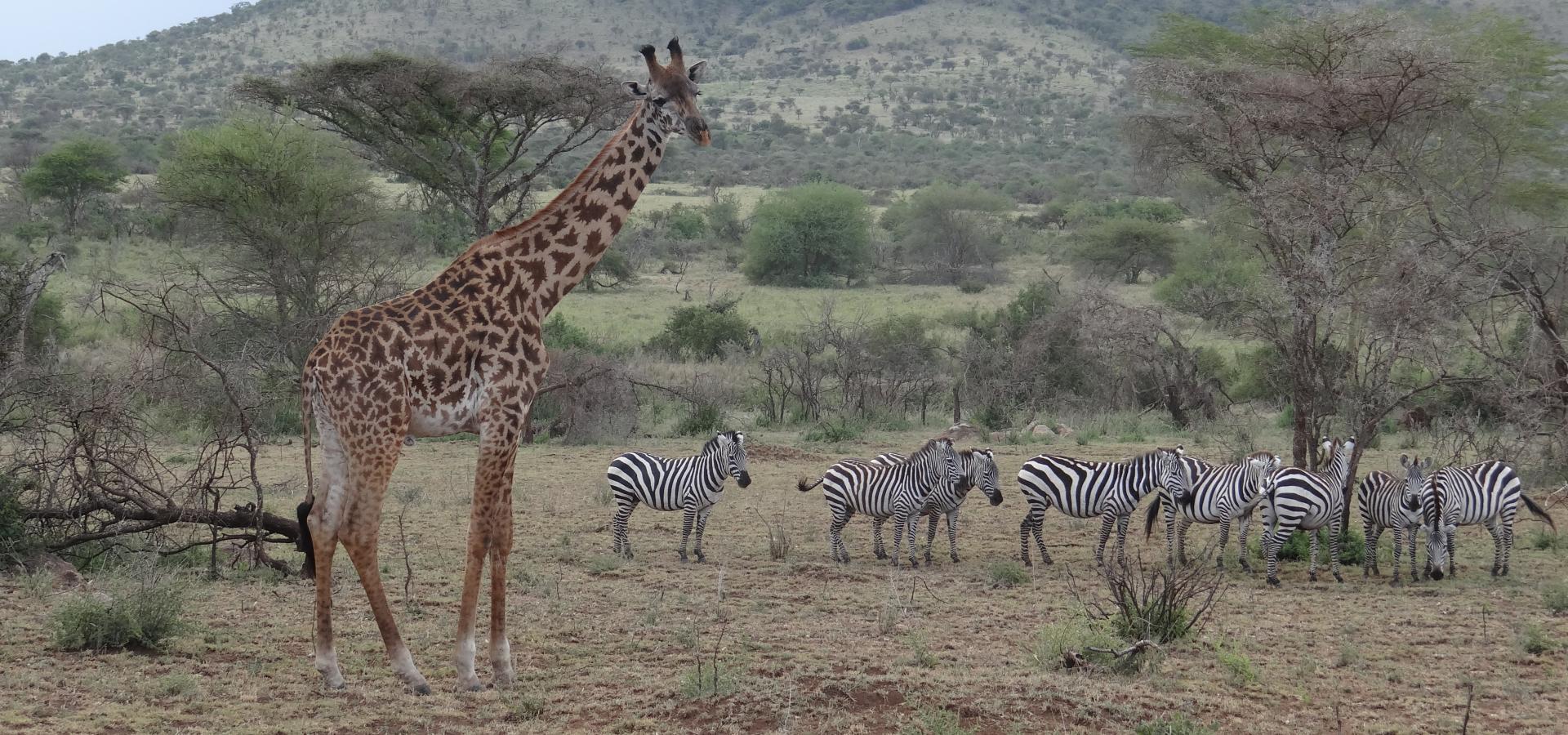 Als bekanntestes Tierreservat der Welt beherbergt die Serengeti die größte Konzentration wildlebender Tiere