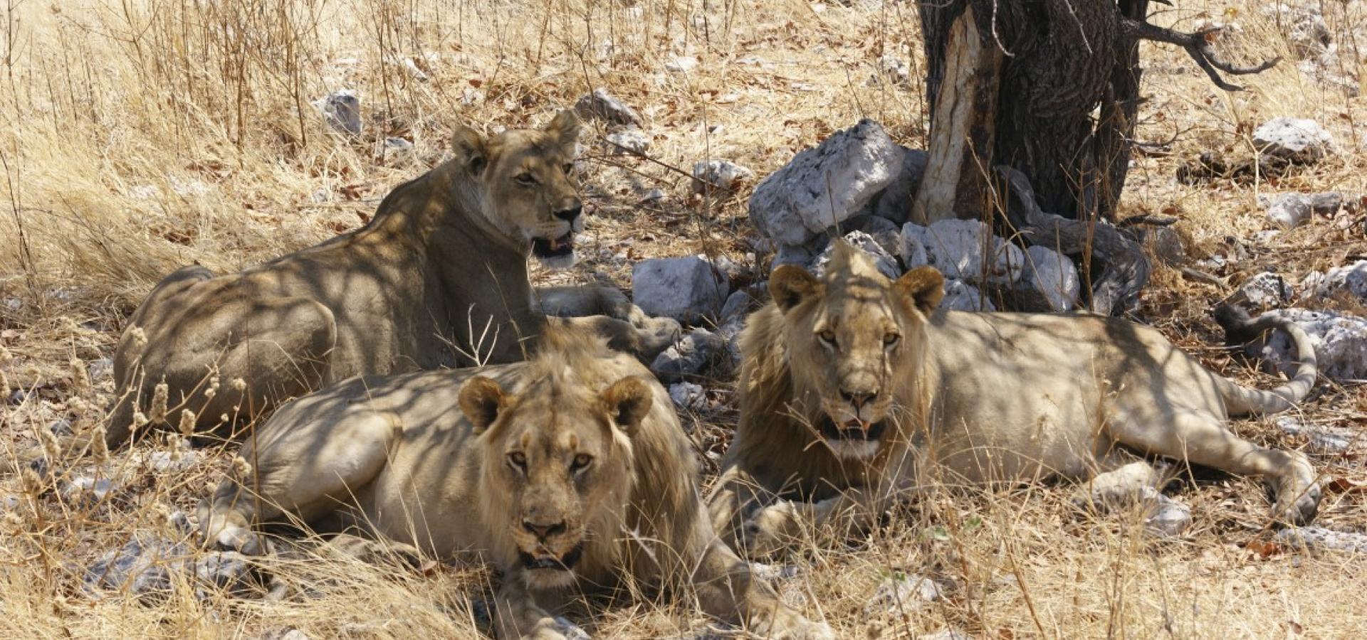 """Machen Sie sich auf die Suche der """"Big 5"""" - Löwe"""