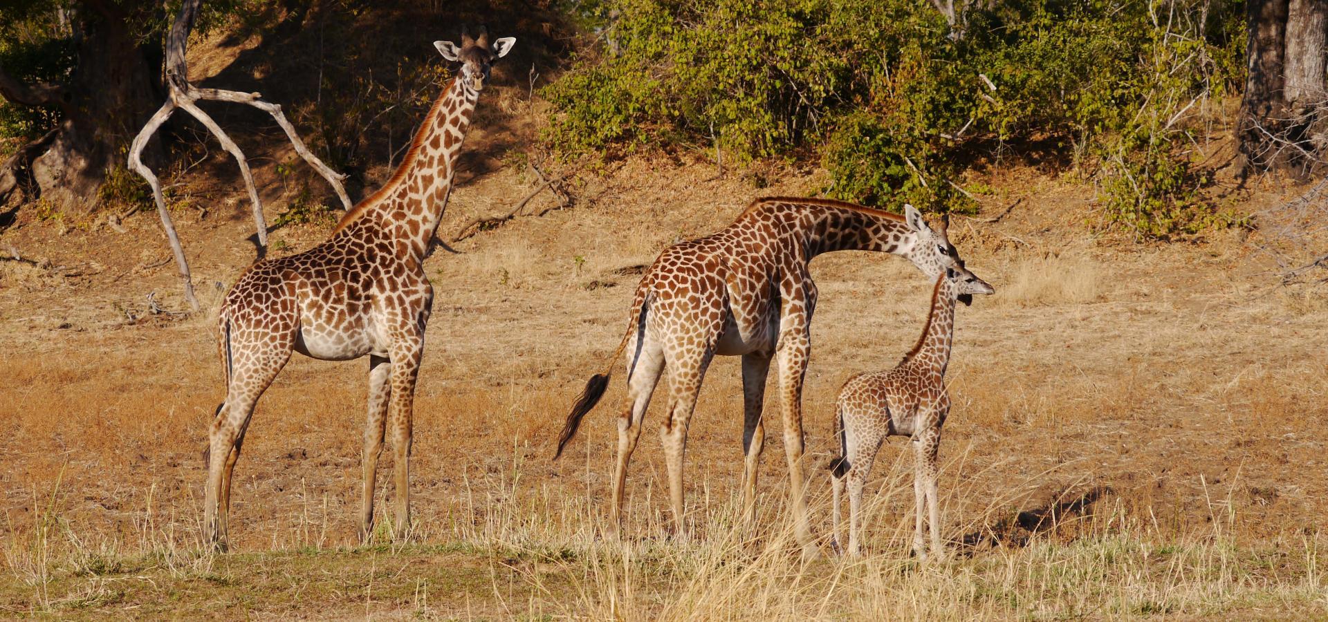 Erleben Sie Pirschaktivitäten der besonderen Art im tierreichen South Luangwa National Park in Zambia