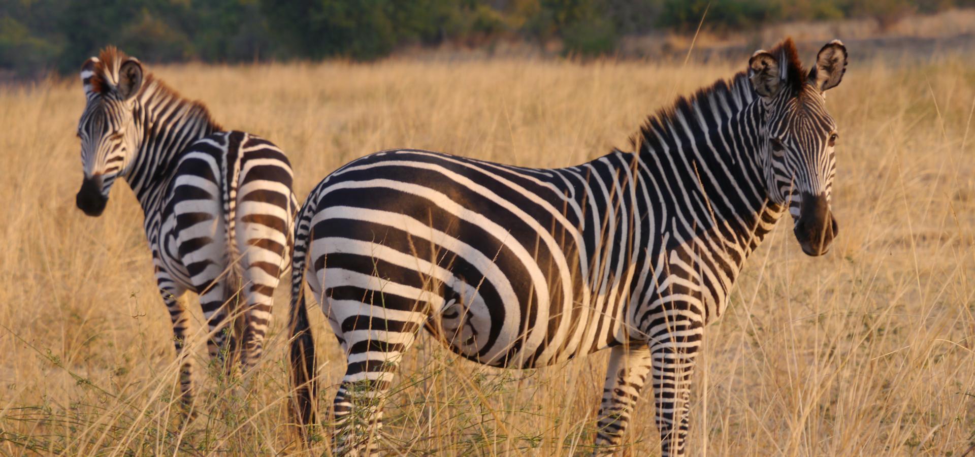 Gehen Sie auf spannende Safaris im landschaftlich beeindruckenden South Luangwa National Park in Zambia