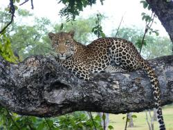 Leopard  Green Season Sambia