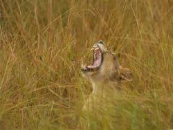 Brüllender Löwe in der Savanne Sambias