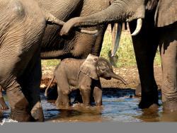 Elefanten Familie am Wasserloch auf einer Safari durch Sambia gesehen