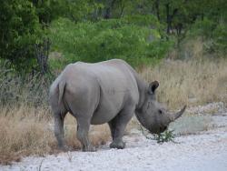 Nashorn im Etoscha National Park