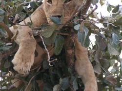 Löwe in einem Baum