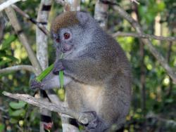 Bamboo Lemure
