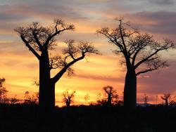 Baobabs im Sonnenuntergang an einer Alee auf Madagaskar