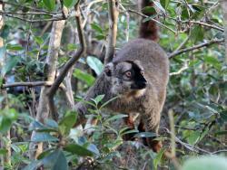 Common Brown Lemure