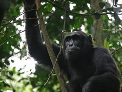 Shimpanse in Uganda