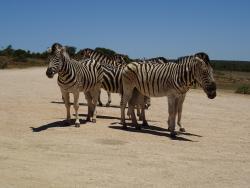 Zebras im Addo