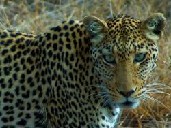 Leopard im Madikwe Game Reserve