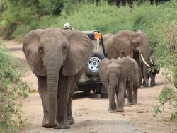 Elefanten bei einem Safari Jeep