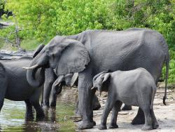Elefantenfamilie auf einer Botswan Reise gesehen