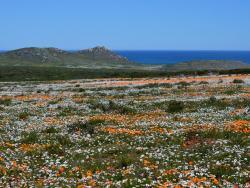 Blumenblüte an der Westküste