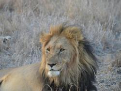 Löwe in Madikwe