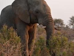 Elefant in Madikwe