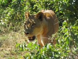 Löwe im Busch