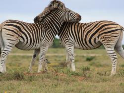 Zebras und Erdmännchen
