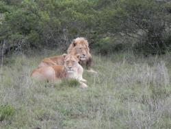 Löwen im Addo Elephant National Park