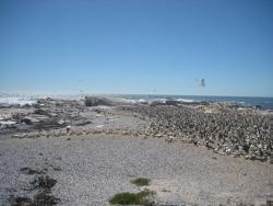 Kaptölpelkolonie Lamberst Bay