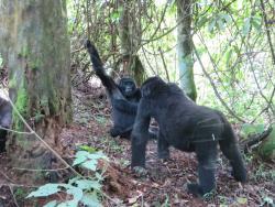 Shimpansefamilie im Wald