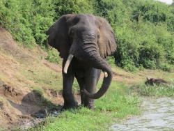 Elefant nam Wasserloch