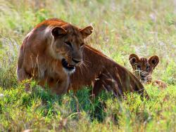 Löwen auf Safari gesehen