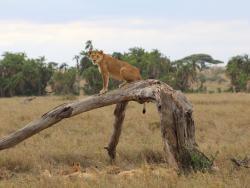 Beobachtung während einer Tansania Reise: Löwin mit Jungen